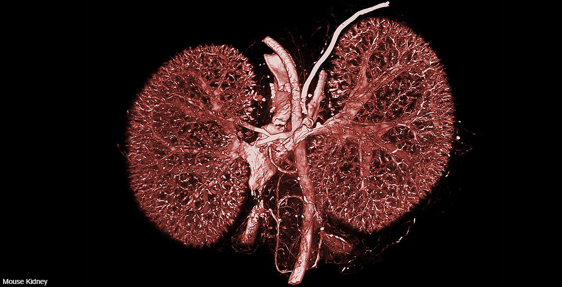 Mouse Kidney